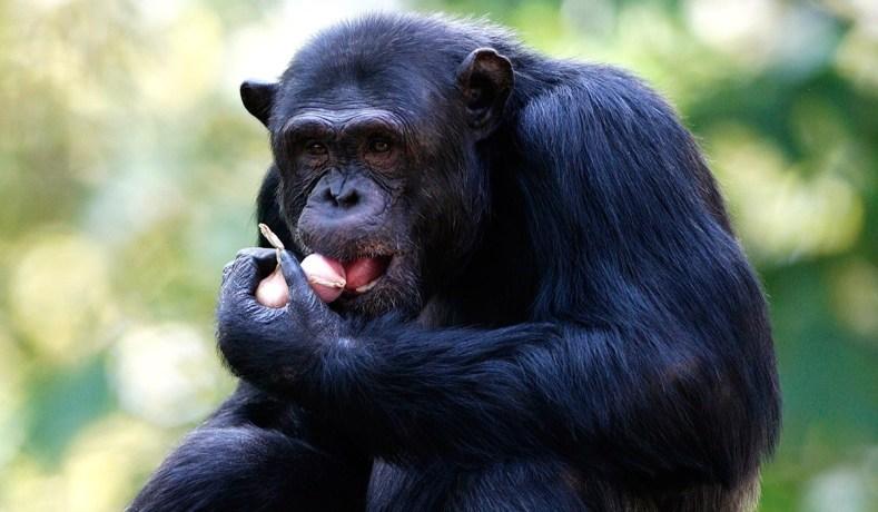 लडाकू प्रजाति चिम्पान्जीका केही आश्चर्य