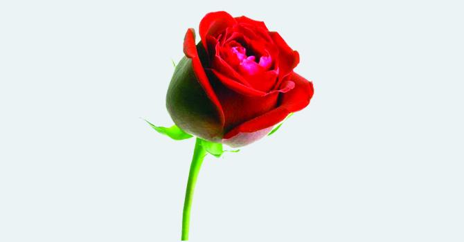 आज भ्यालेन्टाइन दिवस रातो गुलाब प्रेममा रूपान्तर