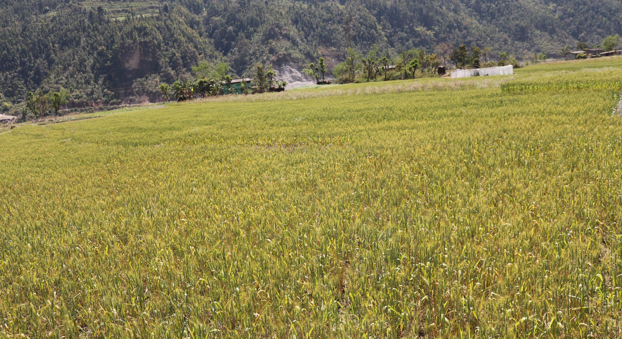 बीउ नपाउने कृषक , अव बीउ व्यापारी
