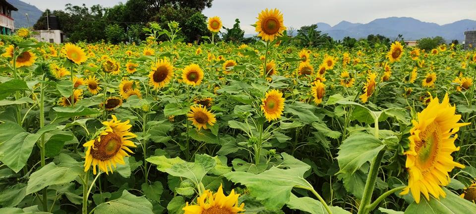 आलेख – मकै छाडेर सूर्यमुखी खेतीमा आकर्षित पाल्पाका किसान
